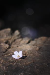 岩の上に落ちた桜の花の写真素材 [FYI04106403]