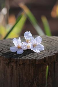 切り株の上に落ちた桜の花の写真素材 [FYI04106405]