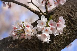 幹に咲く桜の花①の写真素材 [FYI04106406]