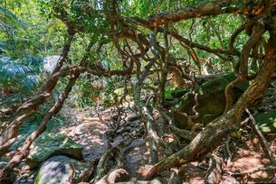 西表島のジャングルの写真素材 [FYI04106424]
