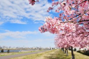 江戸川の河津桜の写真素材 [FYI04106631]