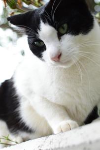 どこかをじっと見つめる白黒模様の猫の写真素材 [FYI04106645]