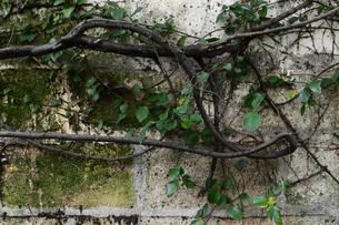 コンクリートブロックの壁に様々な方向に伸びる枝の写真素材 [FYI04106657]