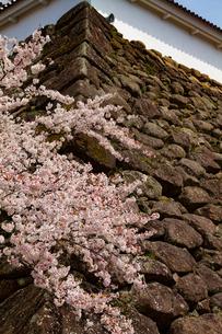 会津城の桜の写真素材 [FYI04106758]