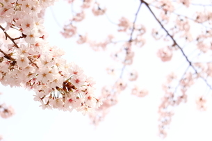 クローズアップした桜の写真素材 [FYI04106761]