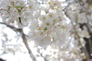 太陽に照らされた桜の写真素材 [FYI04106763]