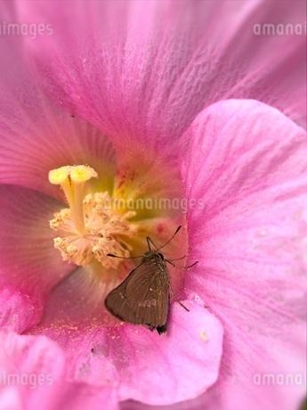ピンクの花と茶色の蝶の写真素材 [FYI04106928]