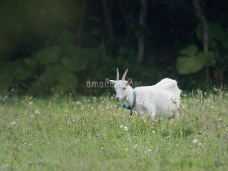 西表島のヤギの写真素材 [FYI04106994]