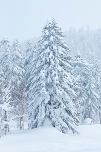 雪化粧した樹木の写真素材 [FYI04107090]