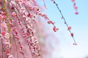 梅の花の写真素材 [FYI04107120]