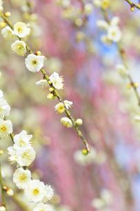 梅の花の写真素材 [FYI04107122]