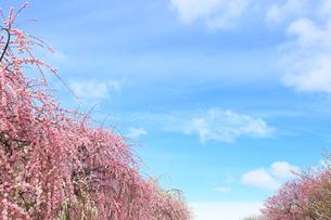 梅の花と春の空の写真素材 [FYI04107123]