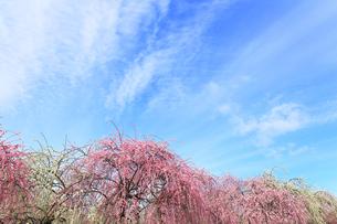 梅の花と春の空の写真素材 [FYI04107124]