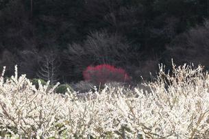 梅の花の写真素材 [FYI04107126]