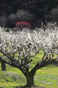 梅の花の写真素材 [FYI04107127]