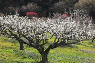 梅の花の写真素材 [FYI04107128]