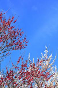 梅の花と春の空の写真素材 [FYI04107130]