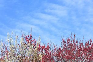 梅の花と春の空の写真素材 [FYI04107131]
