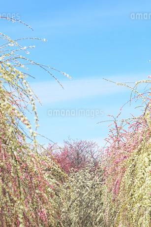 梅の花と春の空の写真素材 [FYI04107133]