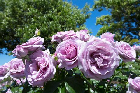 紫のバラの花の写真素材 [FYI04107141]