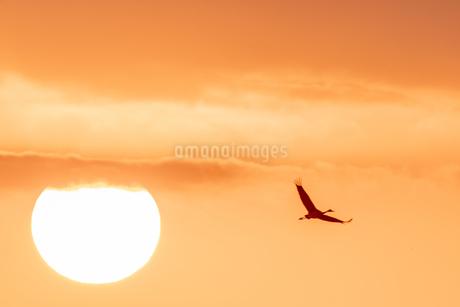 日の出とツルの写真素材 [FYI04107149]