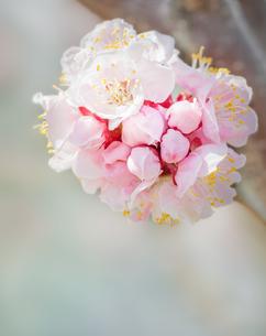 アンズの花の写真素材 [FYI04107402]