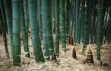 竹林に生えるタケノコの写真素材 [FYI04107404]