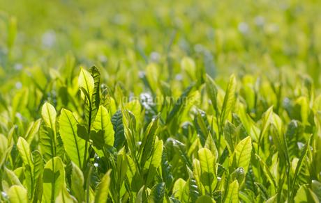 お茶の新芽の写真素材 [FYI04107406]