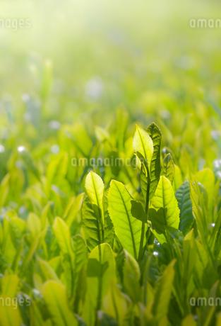 お茶の新芽の写真素材 [FYI04107481]