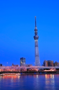東京スカイツリーと隅田川のサクラの夕景の写真素材 [FYI04107686]