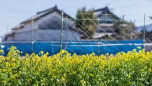日本の風景、菜の花の写真素材 [FYI04107749]