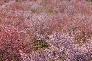 桜峠の写真素材 [FYI04107755]