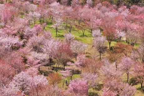桜峠の写真素材 [FYI04107756]