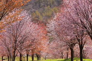 桜峠の写真素材 [FYI04107758]