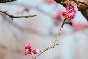 紅梅とミツバチの写真素材 [FYI04107766]