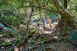 西表島のジャングルの写真素材 [FYI04107799]