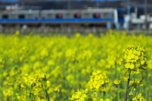 菜の花と小田急4000形の写真素材 [FYI04107919]