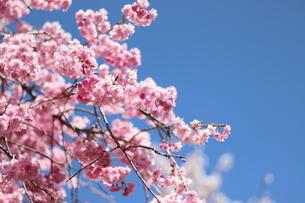 桜の写真素材 [FYI04108046]