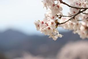 桜の写真素材 [FYI04108049]