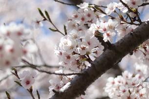 桜の写真素材 [FYI04108050]