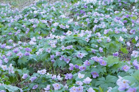 シラネアオイの花の写真素材 [FYI04108054]
