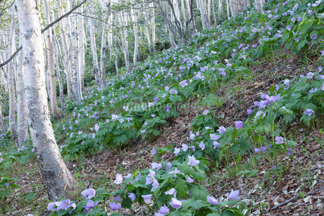 シラネアオイの花の写真素材 [FYI04108057]
