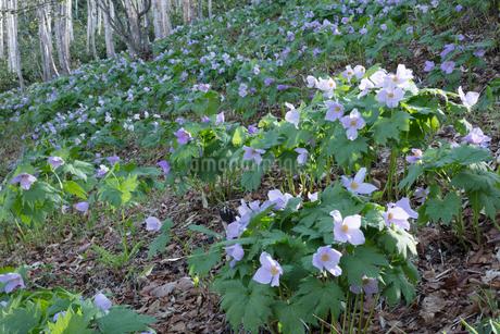 シラネアオイの花の写真素材 [FYI04108058]