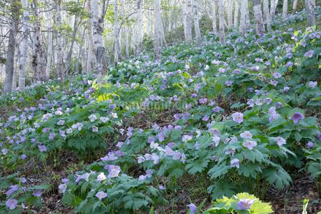 シラネアオイの花の写真素材 [FYI04108059]