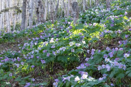 シラネアオイの花の写真素材 [FYI04108061]
