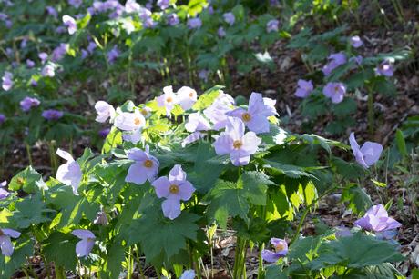 シラネアオイの花の写真素材 [FYI04108063]