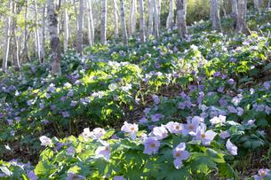 シラネアオイの花の写真素材 [FYI04108066]