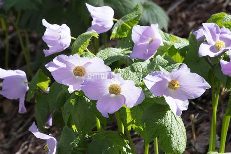 シラネアオイの花の写真素材 [FYI04108073]