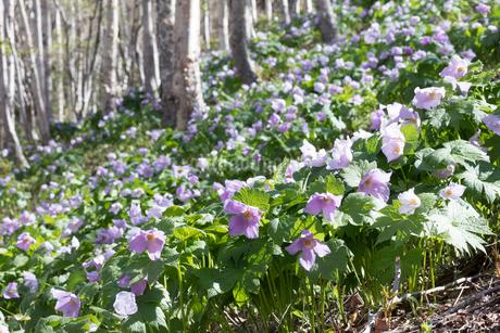 シラネアオイの花の写真素材 [FYI04108077]