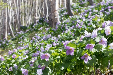 シラネアオイの花の写真素材 [FYI04108079]